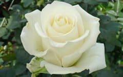 Os 10 Benefícios do Chá de Rosa Branca Para Saúde