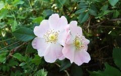 Os 10 Benefícios do Chá de Rosa Silvestre Para Saúde