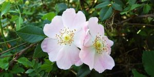 Chá de Rosa Silvestre 1
