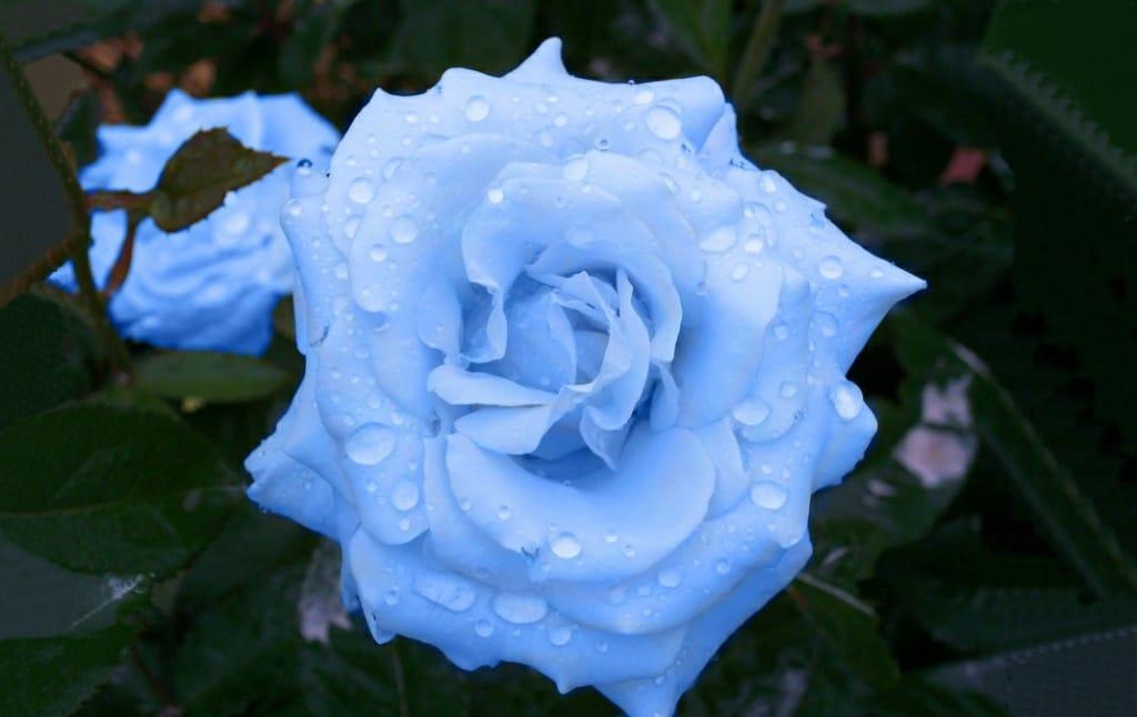 Chá de Rosa azul