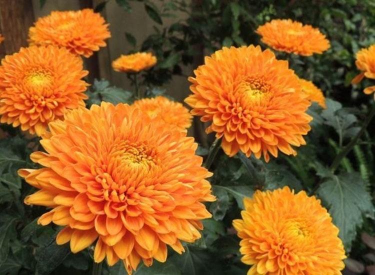 Beneficios doCrisantemo