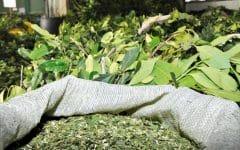 Os 12 Benefícios da Erva-Mate Para Saúde