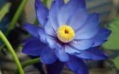 Os 10 Benefícios da Flor de Lótus Para Saúde
