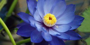 Flor de Lótus 3