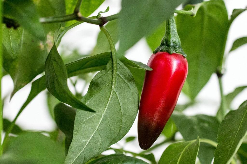 Os 10 Benefícios da Pimenta Jalapeño Para Saúde!