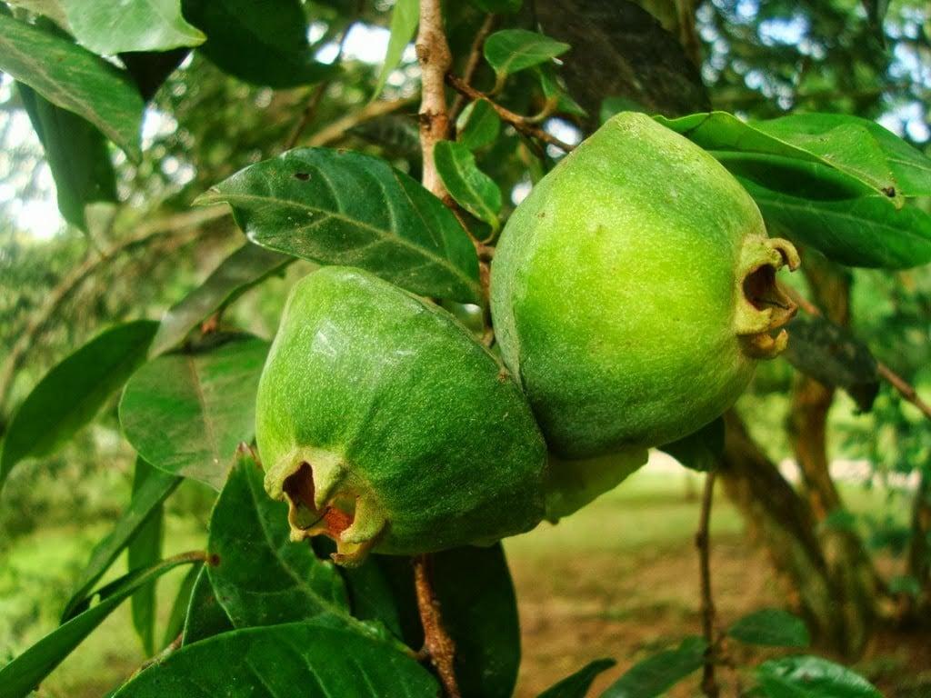 Benefícios do Suco de Cambuci