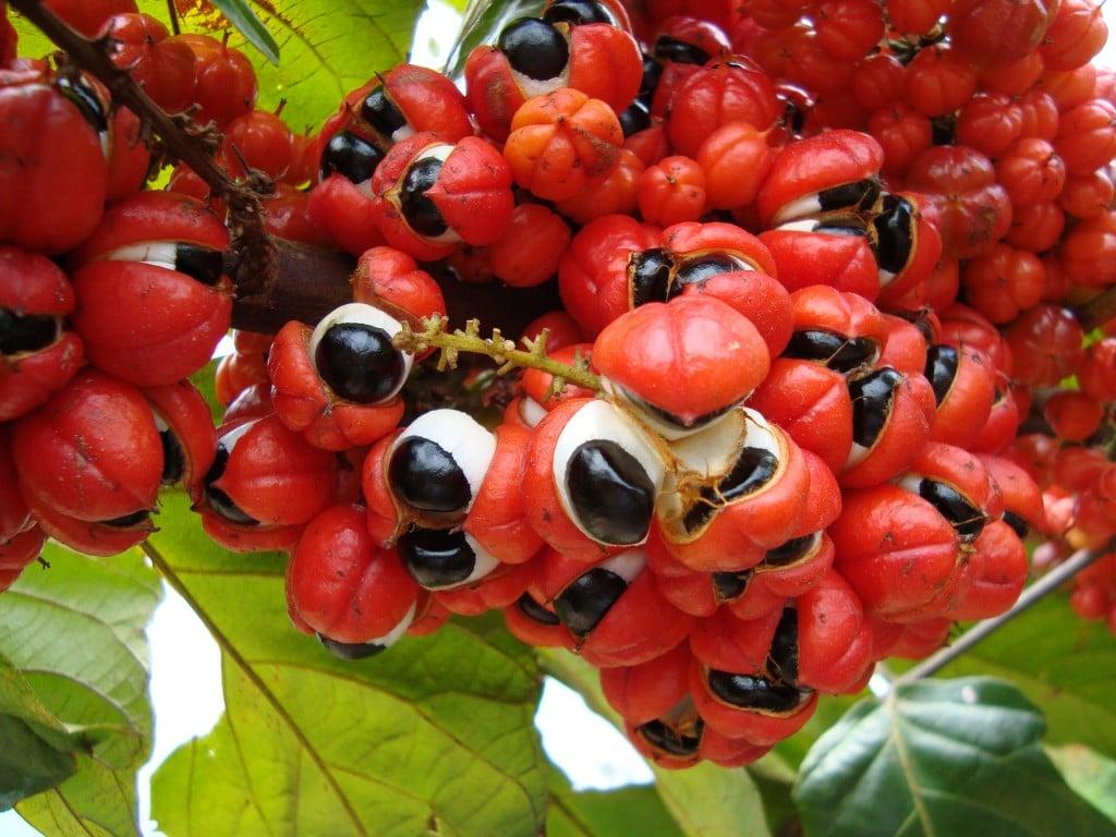 10 Benefícios do Suco de Guaraná – Para que Serve e Propriedades do Suco de Guaraná!