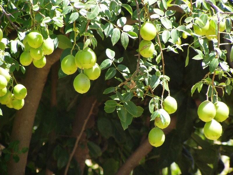 Benefícios da Vitamina de Umbu