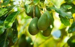 Os 12 Benefícios do Abacate Para Saúde