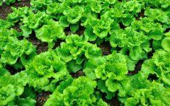 13 Benefícios da Alface – Para que Serve e Propriedades da Alface!