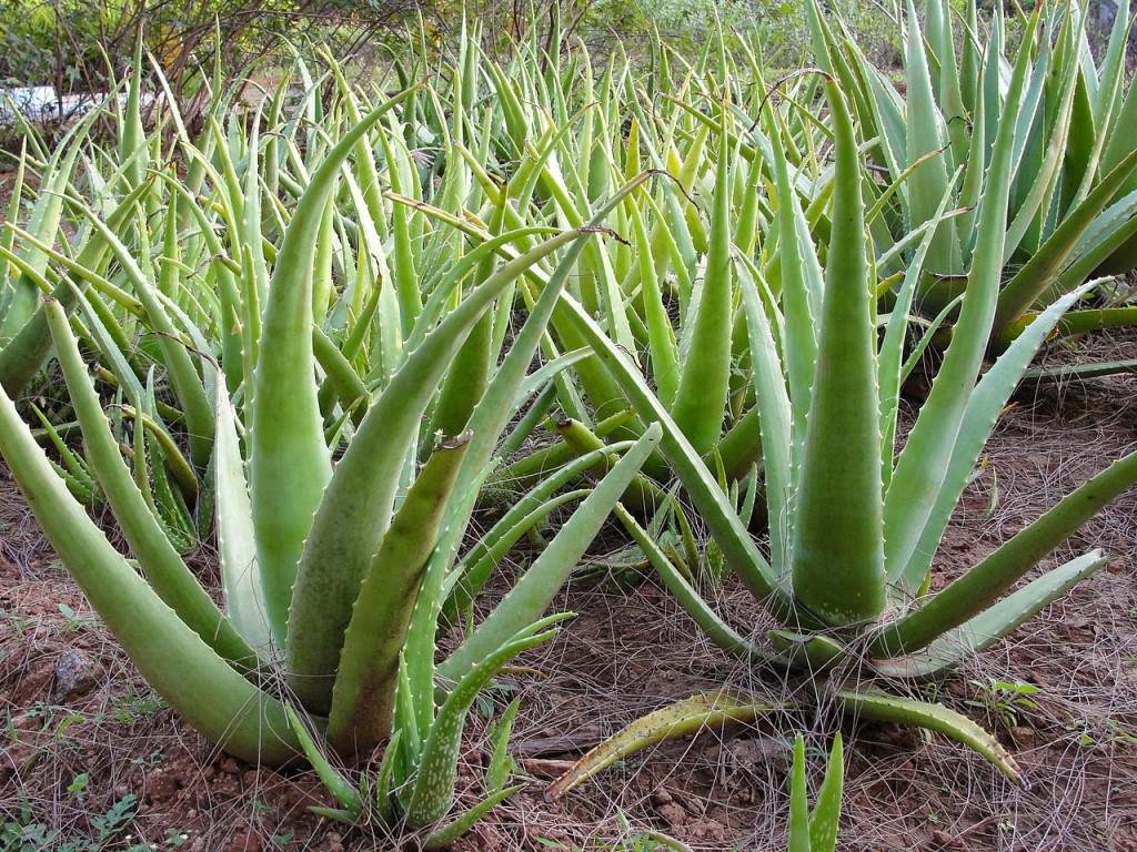 Os 12 Benefícios da Aloe Vera Para Saúde!