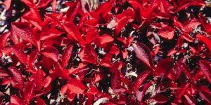 espinafre vermelho 3