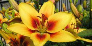 flor de lirio1