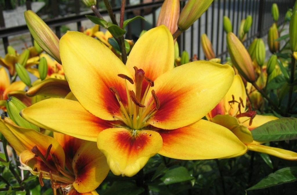 Os 10 Benefícios da Flor de Lírio Para Saúde