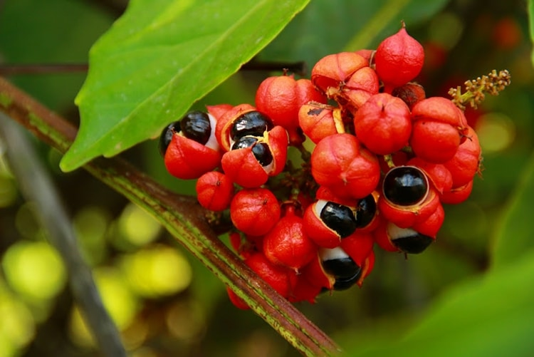 Beneficios do Guarana