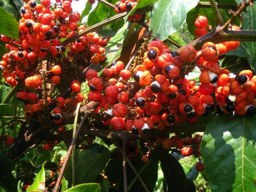 Benefícios do Guaraná