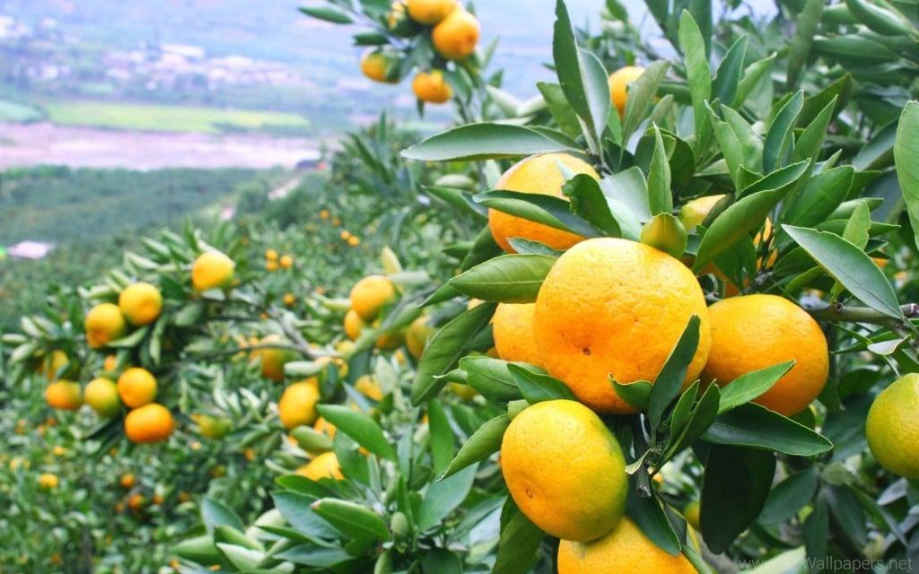 mandarina 1