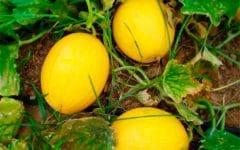 10 Benefícios do Melão – Para que Serve e Propriedades do Melão!
