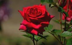 Os 12 Benefícios da Rosa Vermelha Para Saúde