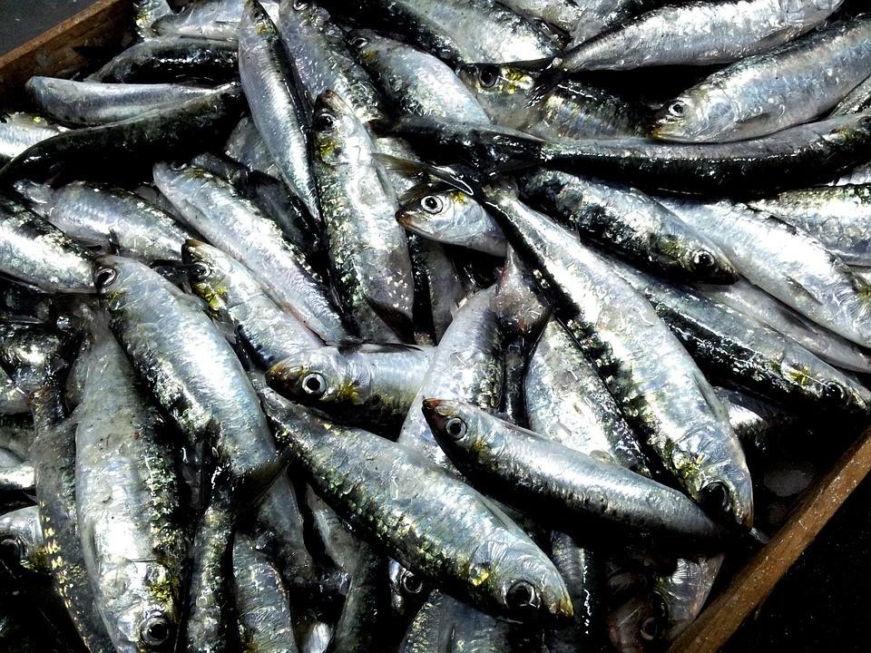 sardinha 1