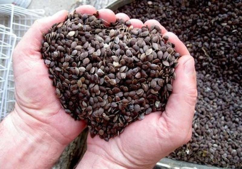 sementes de maracuja sementes de maracuja