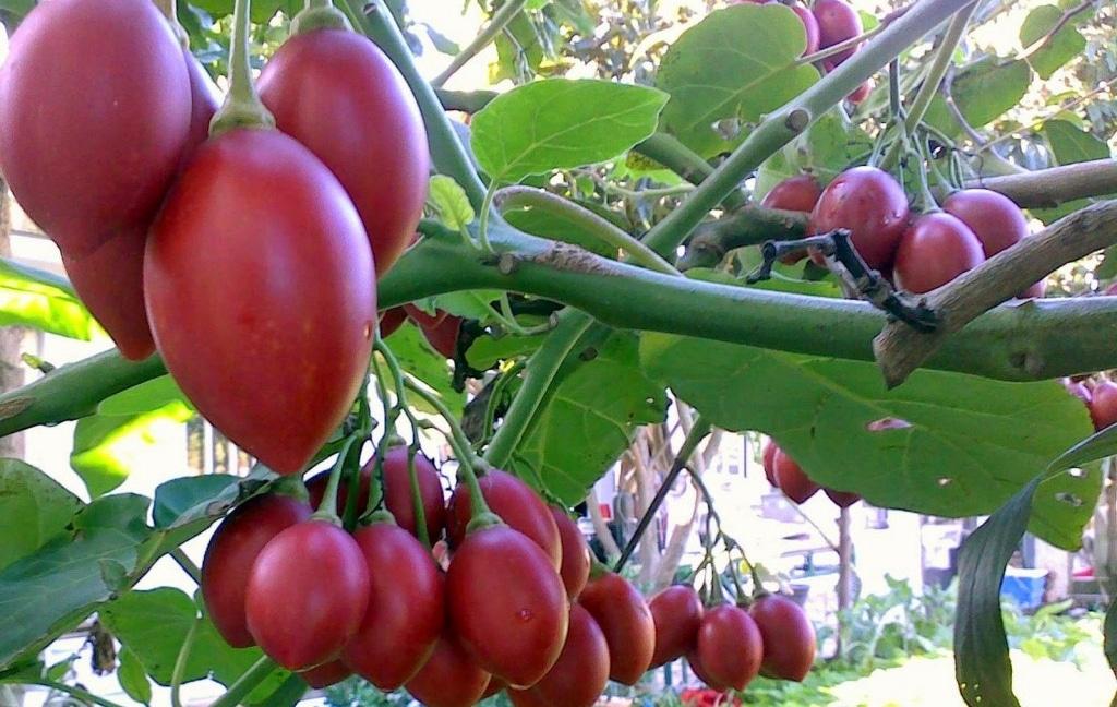 Benefícios do Tomate Japonês