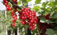 Os 10 Benefícios da Groselha Vermelha Para Saúde
