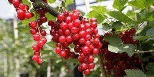 Benefícios da Groselha Vermelha