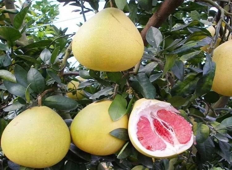 Os 14 Benefícios do Pomelo Para Saúde!
