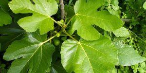 beneficios das folhas de figo