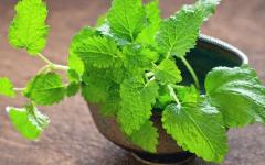 Os 12 Benefícios da Erva-cidreira Para Saúde!