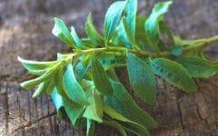 Os 10 Benefícios da Folha de Stevia Para Saúde