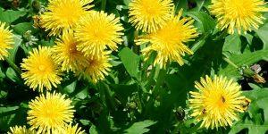 os 10 benefícios das folhas de dente de leão para saúde