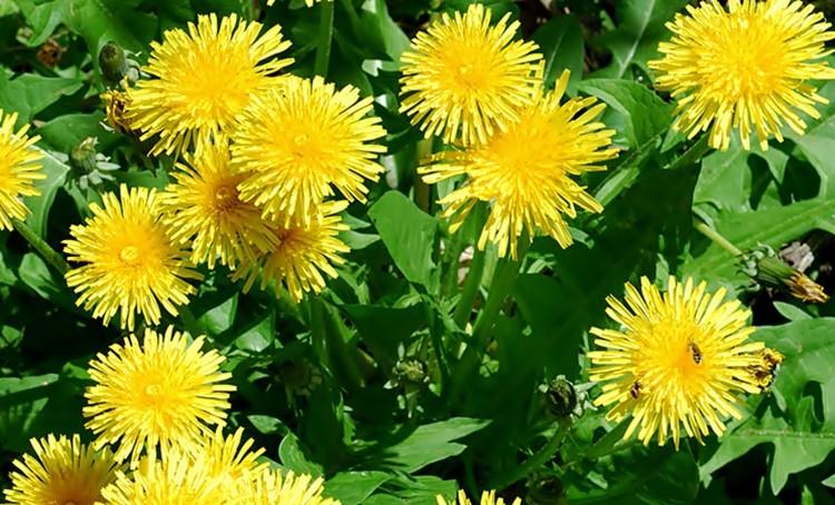 Os 10 Benefícios das Folhas de Dente de Leão Para Saúde!